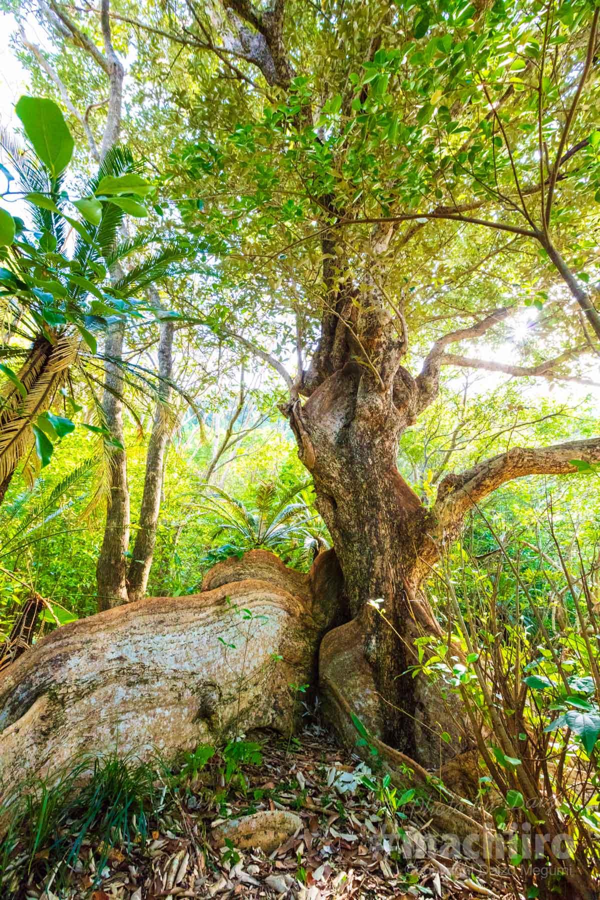 奄美大島最大級のサキシマスオウノキ 写真